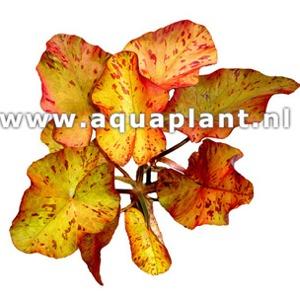 Nymphea tigerlotus plante d\'aquarium livrée en bulbe avec jeunes feuilles