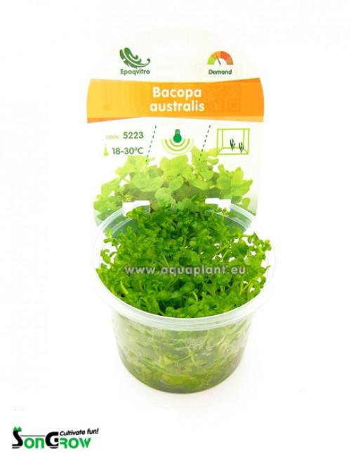 Bacopa australis plante d\'aquarium qualité Prémium en gobelet In Vitro 100 ml