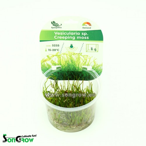 Creeping moss (Vesicularia sp.) mousse qualité Prémium en gobelet In Vitro 100 ml
