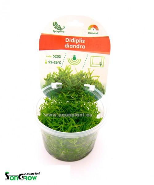 Didiplis diandra plante d\'aquarium qualité Prémium en gobelet In Vitro 100 ml