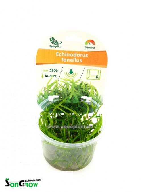 Echinodorus tenellus plante d\'aquarium gazonnante qualité Prémium en gobelet In Vitro 100 ml