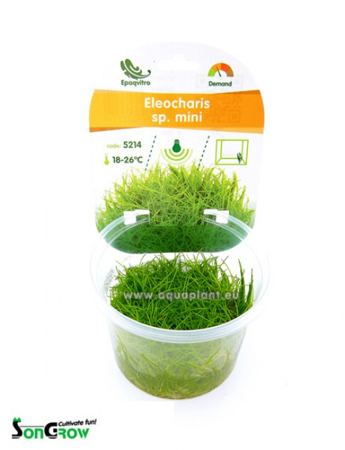 Eleocharis sp. mini plante d\'aquarium gazonnante qualité Prémium en gobelet In Vitro 100 ml