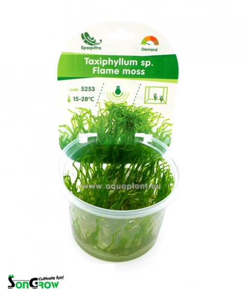 Flame moss (Taxiphyllum sp.) mousse qualité Prémium en gobelet In Vitro 100 ml