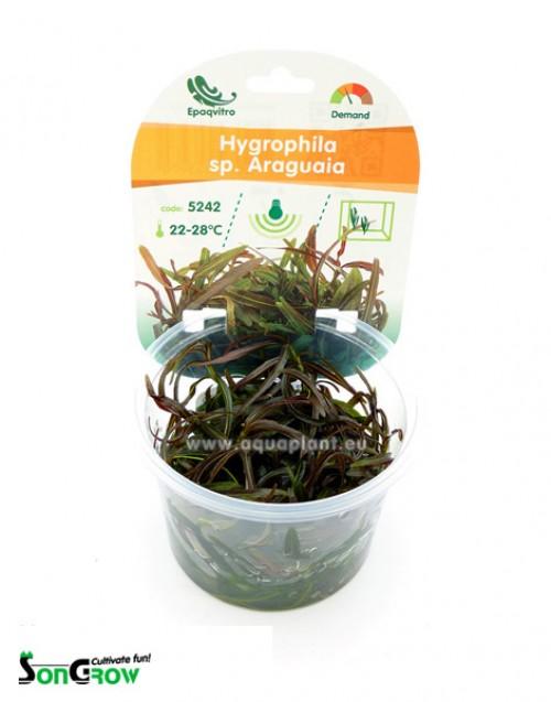 Hygrophila sp. Araguaia plante d\'aquarium qualité Prémium en gobelet In Vitro 100 ml