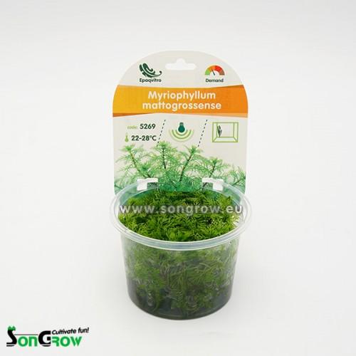 Myriophyllum mattogrossense plante d\'aquarium qualité Prémium en gobelet In Vitro 100 ml