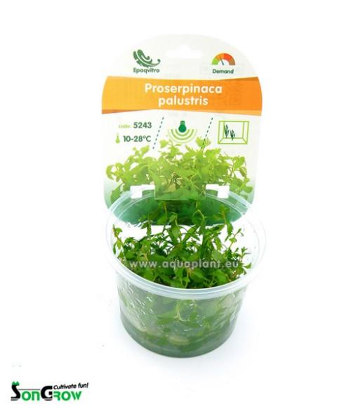 Proserpinaca palustris plante d\'aquarium qualité Prémium en gobelet In Vitro 100 ml
