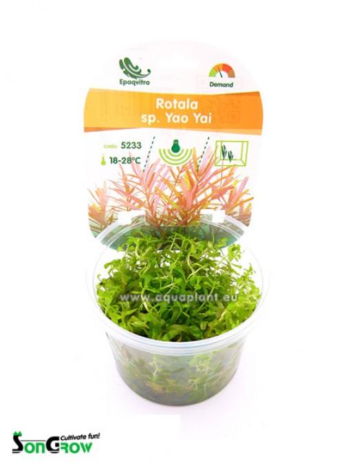 Rotala sp. Yao Yai plante d\'aquarium qualité Prémium en gobelet In Vitro 100 ml