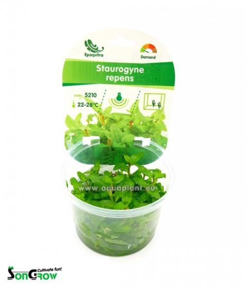 Staurogyne repens plante d\'aquarium qualité Prémium en gobelet In Vitro 100 ml