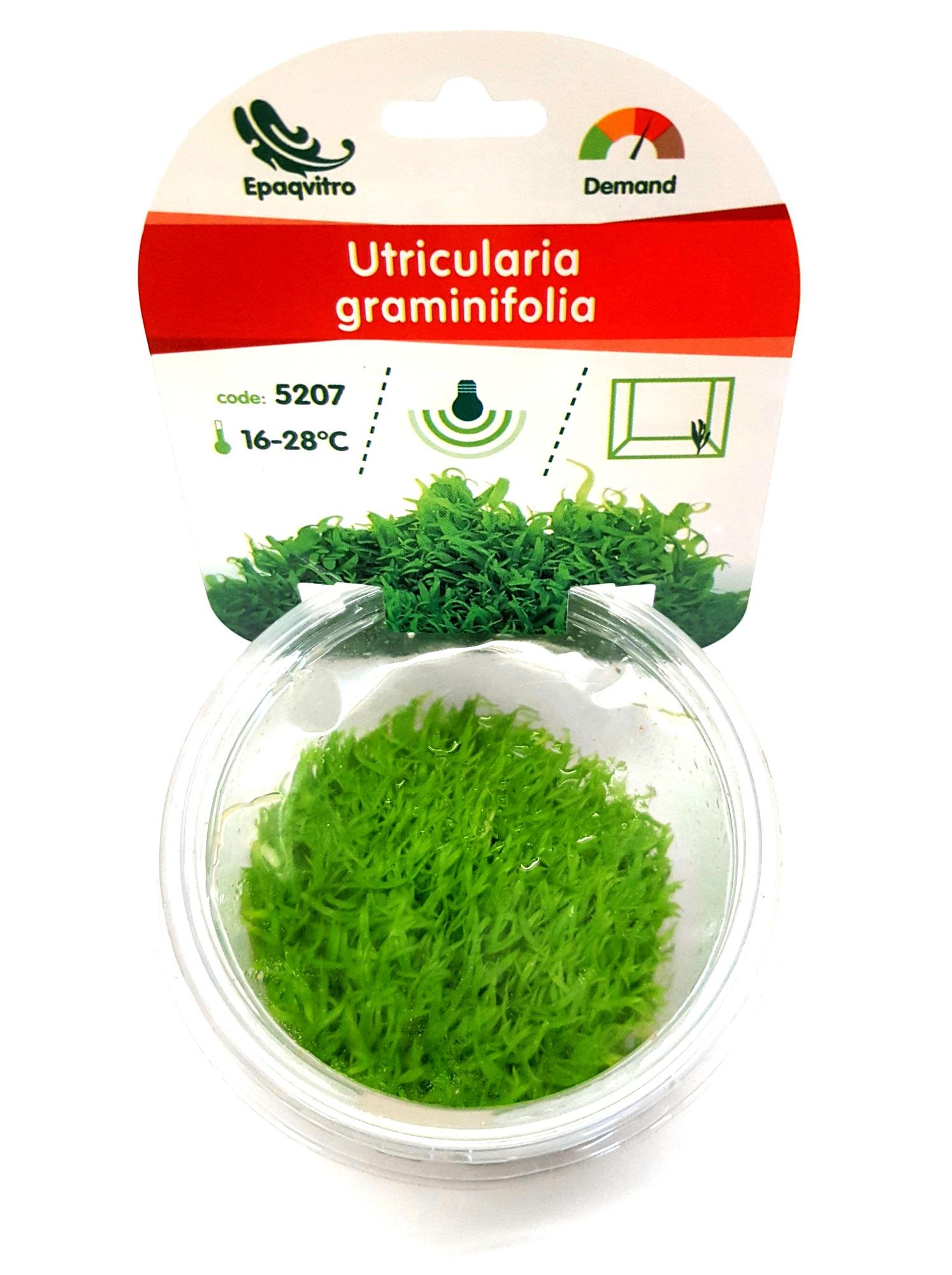 Utricularia graminifolia plante d\'aquarium gazonnante qualité Prémium en gobelet In Vitro 100 ml