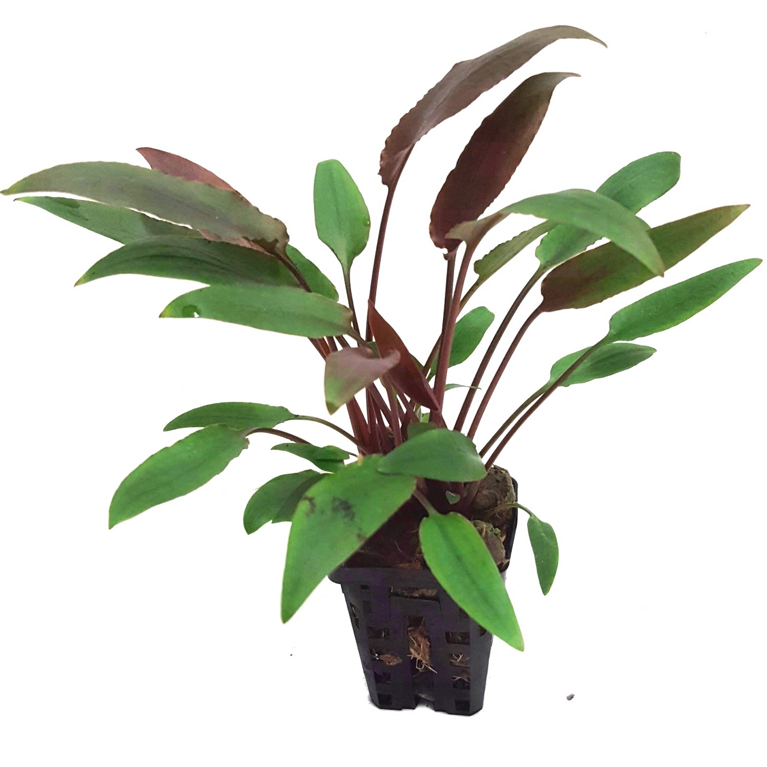 Cryptocoryne walkerii plante d\'aquarium en pot de diamètre 5 cm