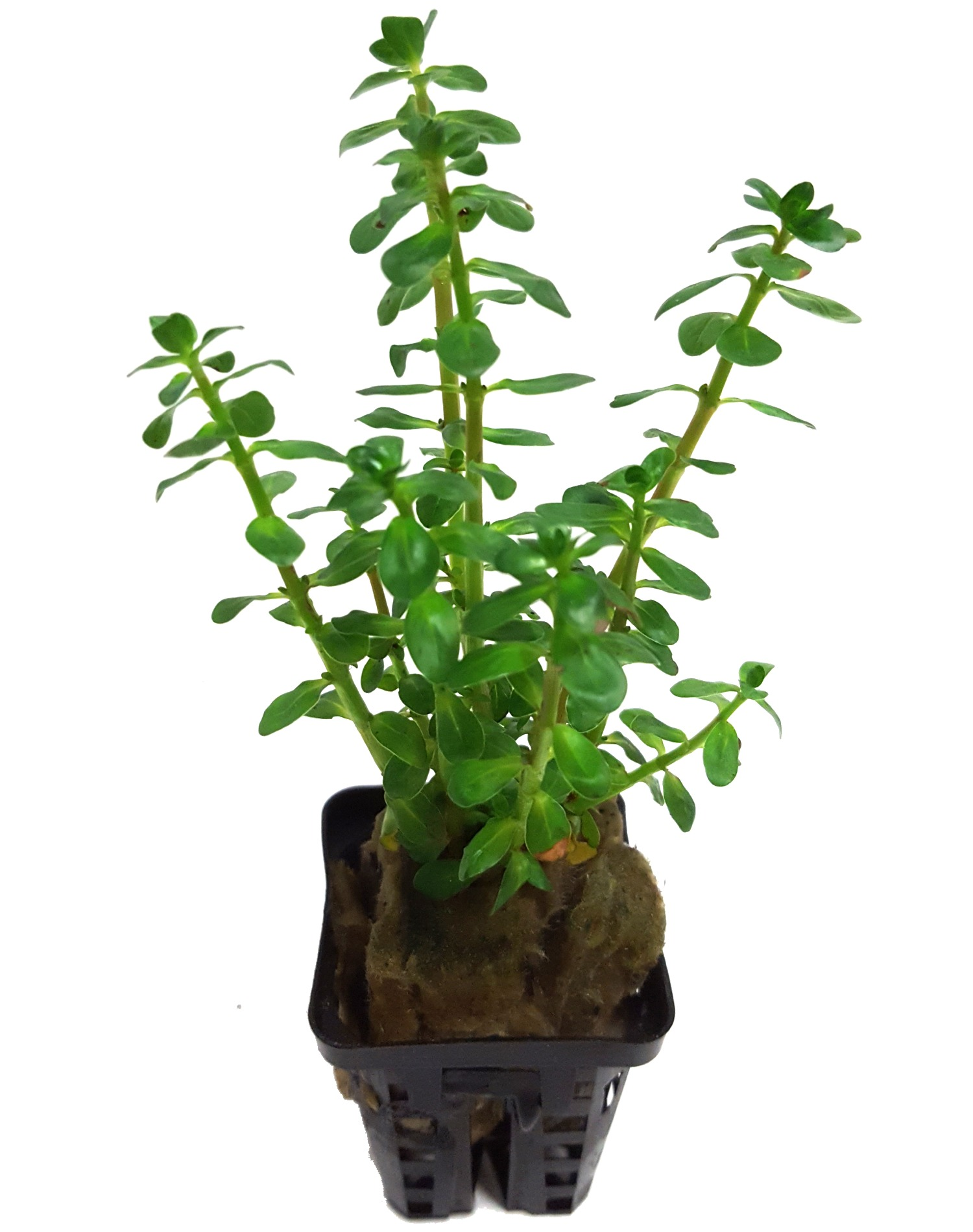 Ammania gracilis Bonsaï plante d\'aquarium en pot de diamètre 5 cm
