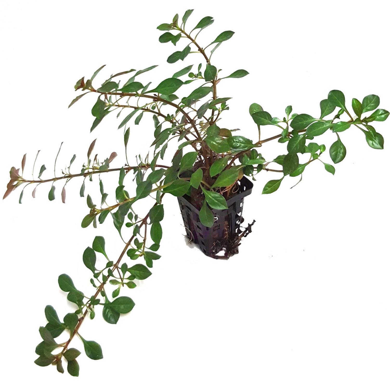 Ludwigia glandulosa plante d\'aquarium en pot de diamètre 5 cm