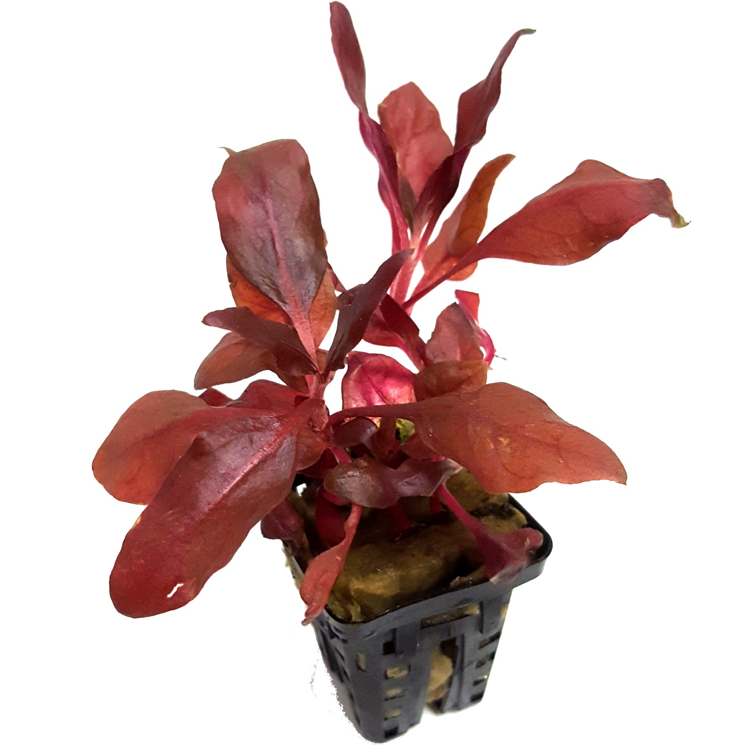 Alternanthera cardinalis Double Red plante d\'aquarium en pot de diamètre 5 cm