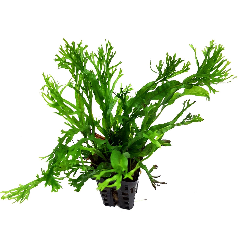 Microsorum Pteropus var. Windelov var. Windelov plante d\'aquarium en pot de diamètre 5 cm
