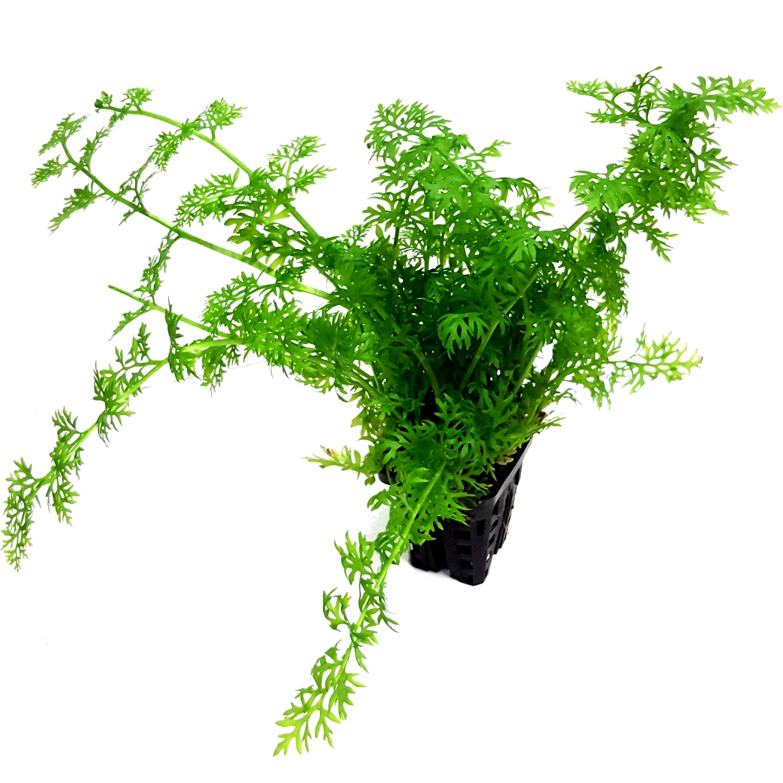 Ceratopteris thalictroides plante d\'aquarium en pot de diamètre 5 cm