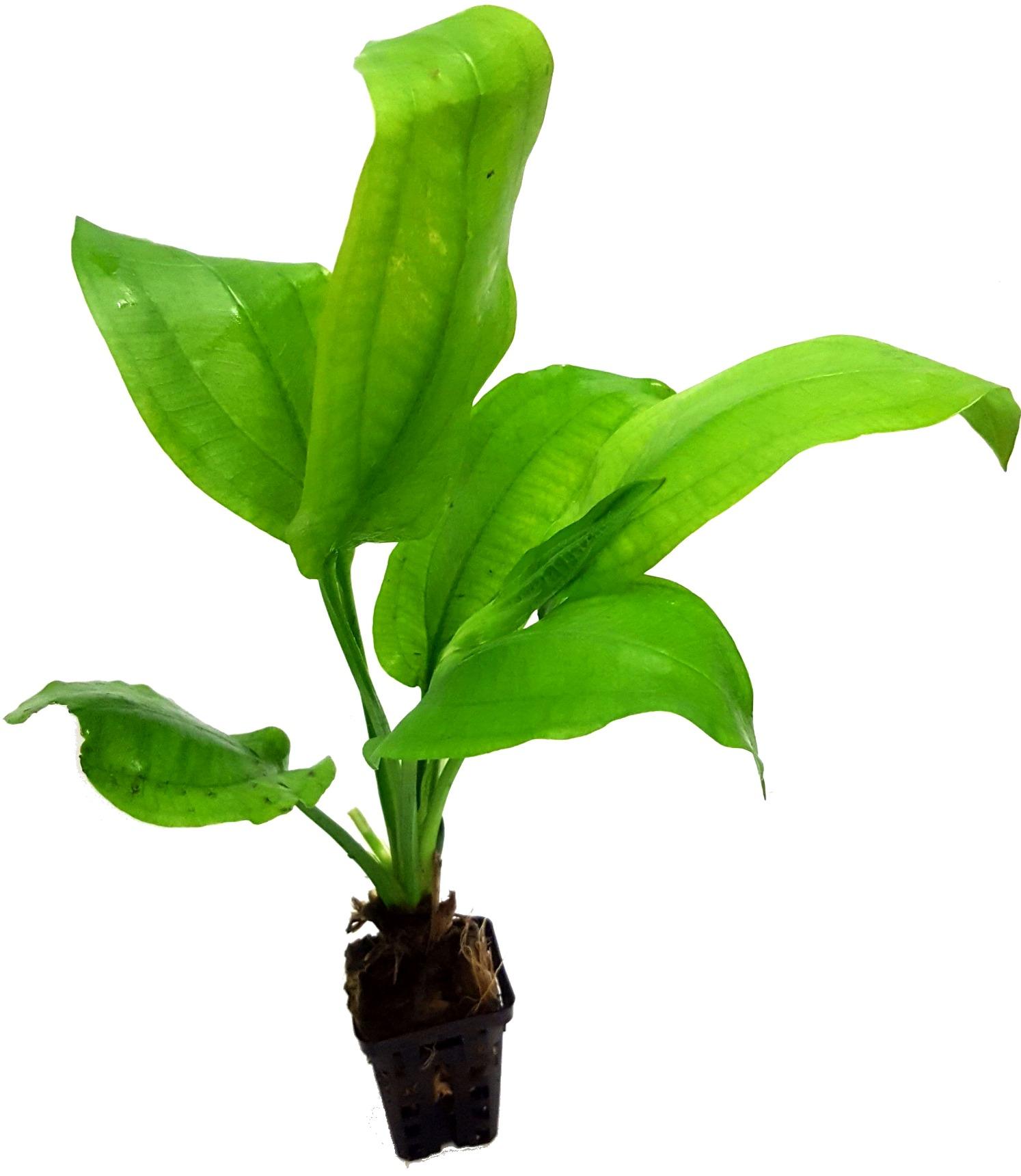 Echinodorus Bleheri plante d\'aquarium en pot de diamètre 5 cm