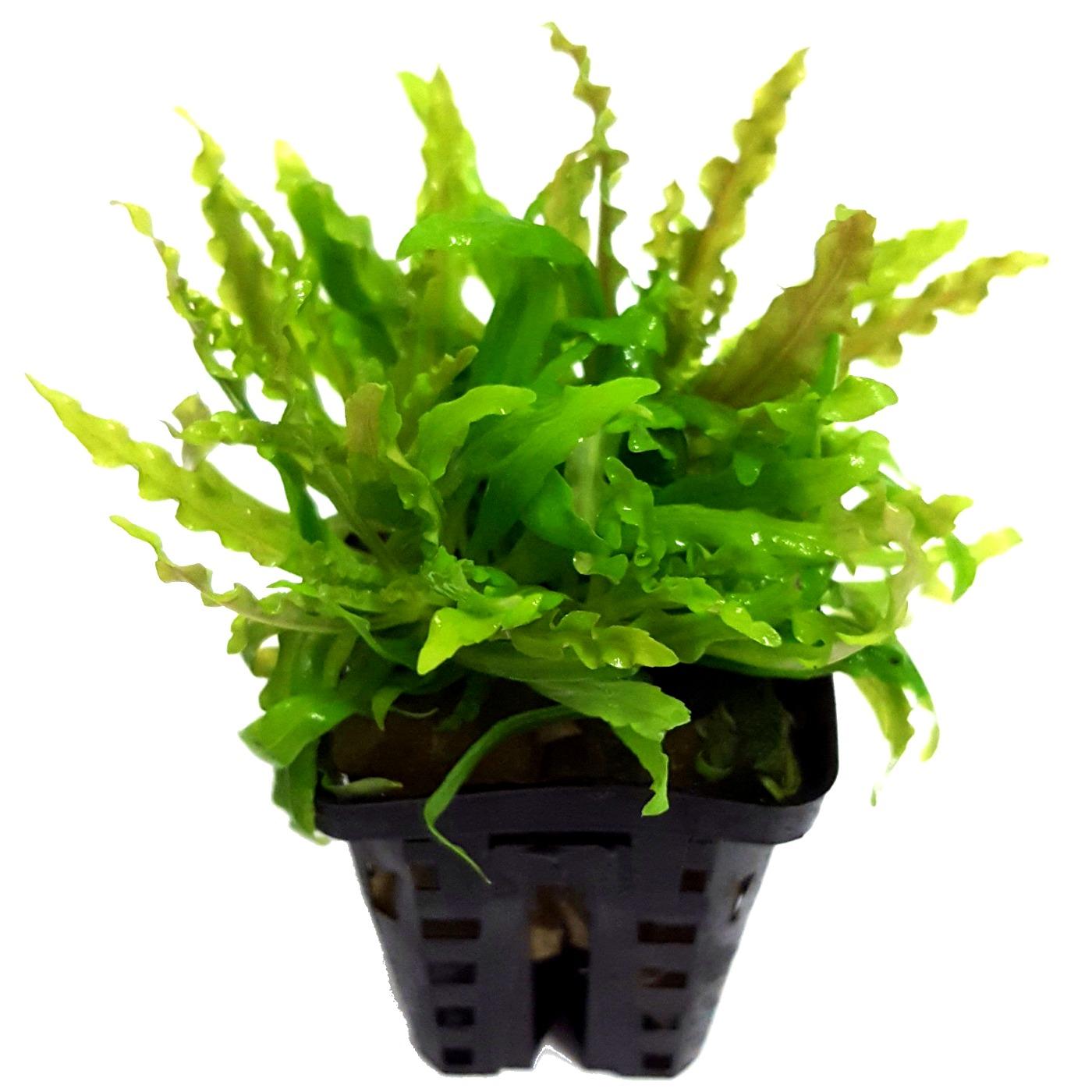 Pogostemon helferi plante d\'aquarium en pot de diamètre 5 cm