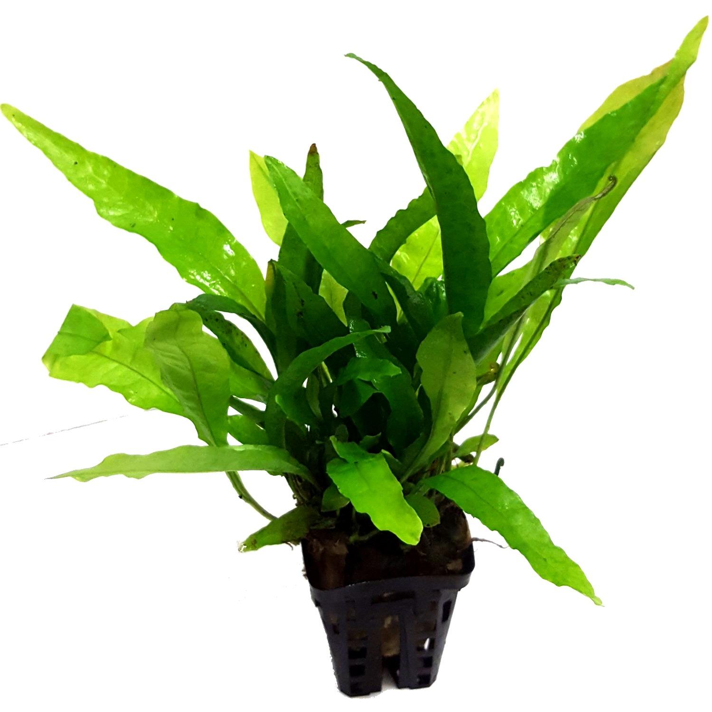 Microsorum Pteropus plante d\'aquarium en pot de diamètre 5 cm
