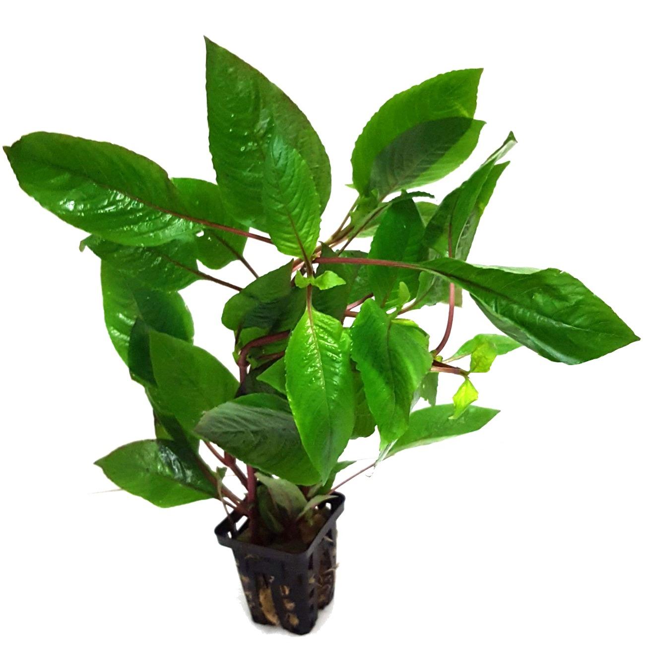 Hygrophila corymbosa verte plante d\'aquarium en pot de diamètre 5 cm