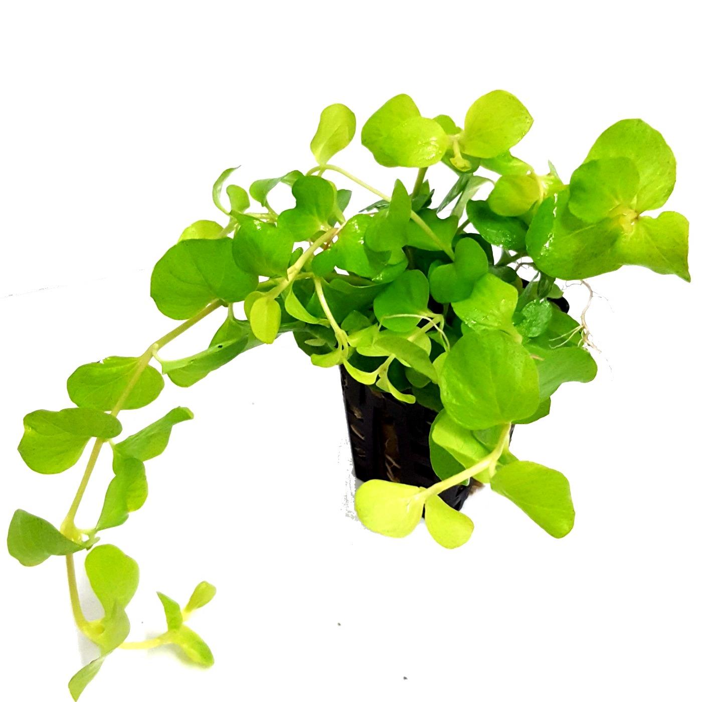 Lysimachia nummularia Aurea plante d\'aquarium en pot de diamètre 5 cm