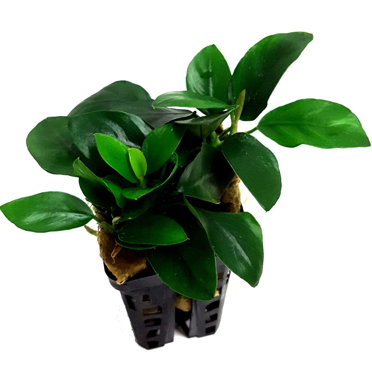 Anubias barteri var. Nana Plante d\'aquarium en pot de diamètre 5 cm
