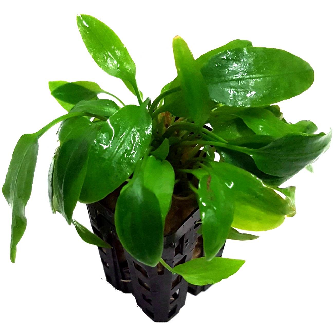 Cryptocoryne wendtii green plante d\'aquarium en pot de diamètre 5 cm