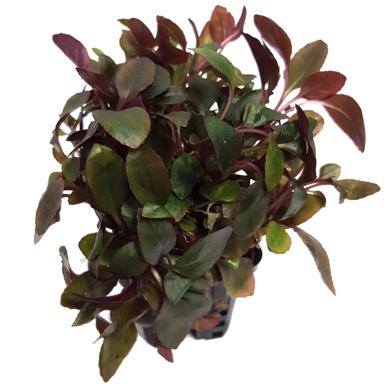 Lobelia cardinalis mini plante d\'aquarium en pot de diamètre 5 cm
