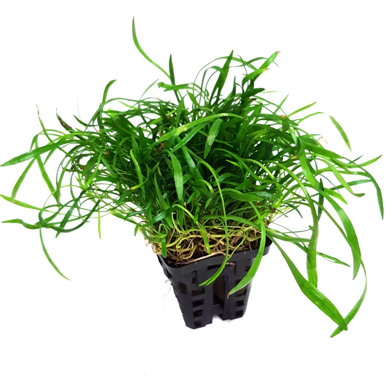 Lilaeopsis novae-zelandiae plante d\'aquarium en pot de diamètre 5 cm