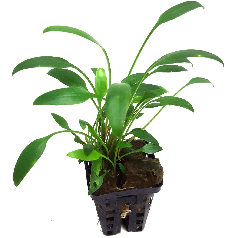Cryptocoryne nevillii plante d\'aquarium en pot de diamètre 5 cm