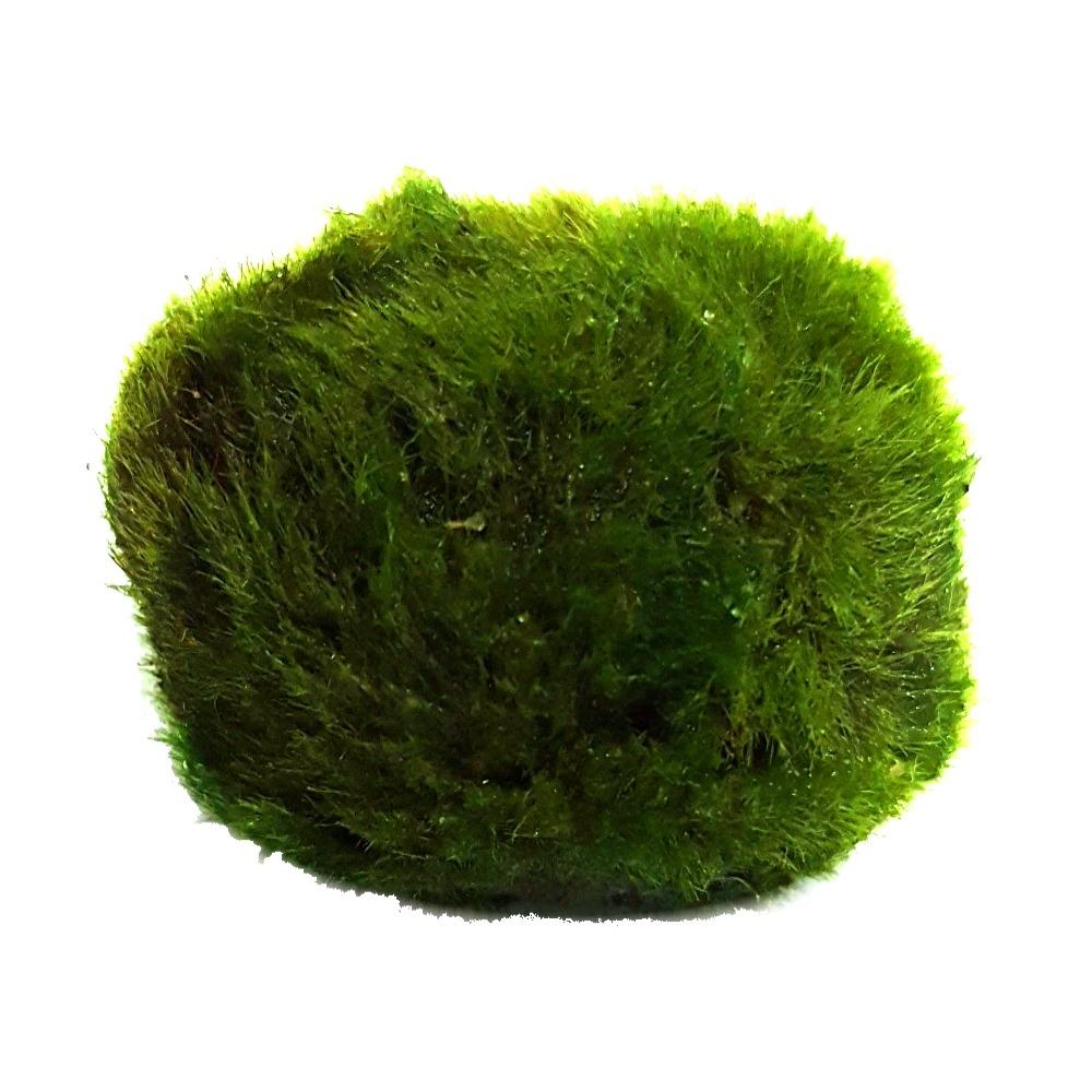 Cladophora aegagropila ou Boule anti-nitrates. Aide à la réduction des algues en aquarium. Très facile à maintenir !