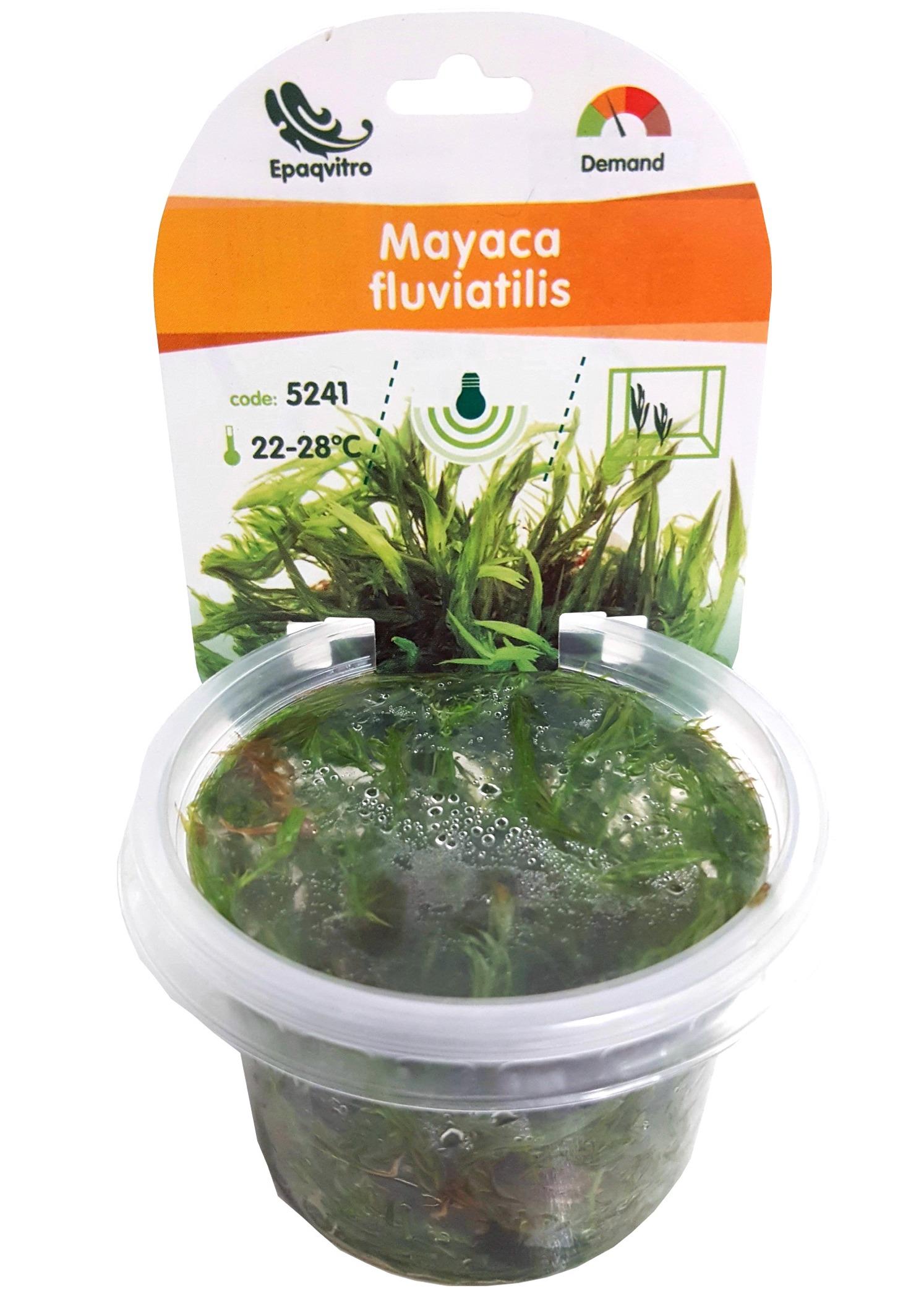 Mayaca fluviatilis (Syn: M. vandellii) plante d\'aquarium qualité Prémium en gobelet In Vitro 100 ml