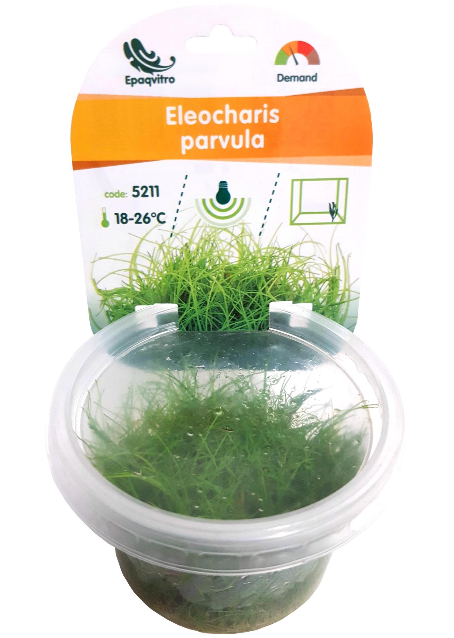 Eleocharis parvula plante d\'aquarium gazonnante qualité Prémium en gobelet In Vitro 100 ml