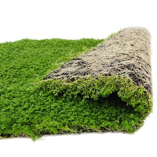Tapis planté Epaqmat M Micranthemum Monte Carlo Dimension du tapis 20 x 15 cm