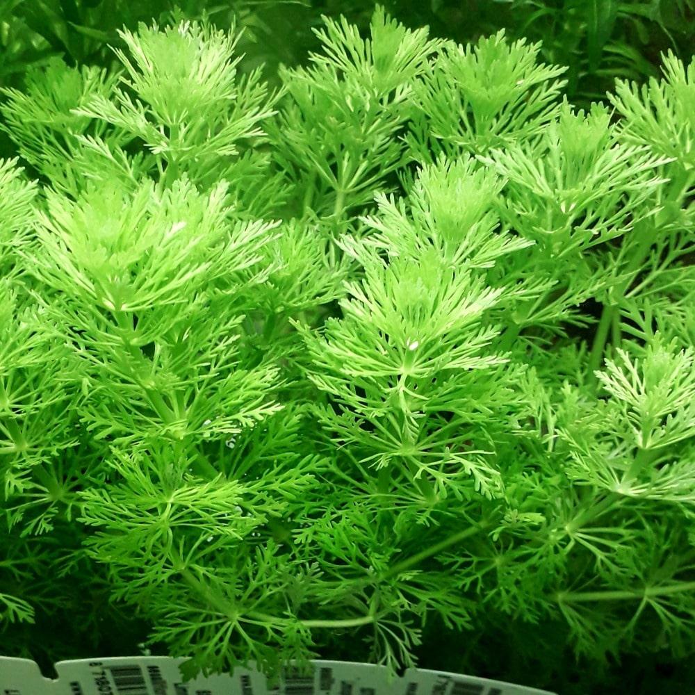 Limnophila sessiliflora (remplace la Cabomba) Plante d\'aquarium en bouquet