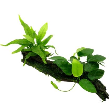 DuoWood M racine plantée avec Anubias, Microsorum et mousse