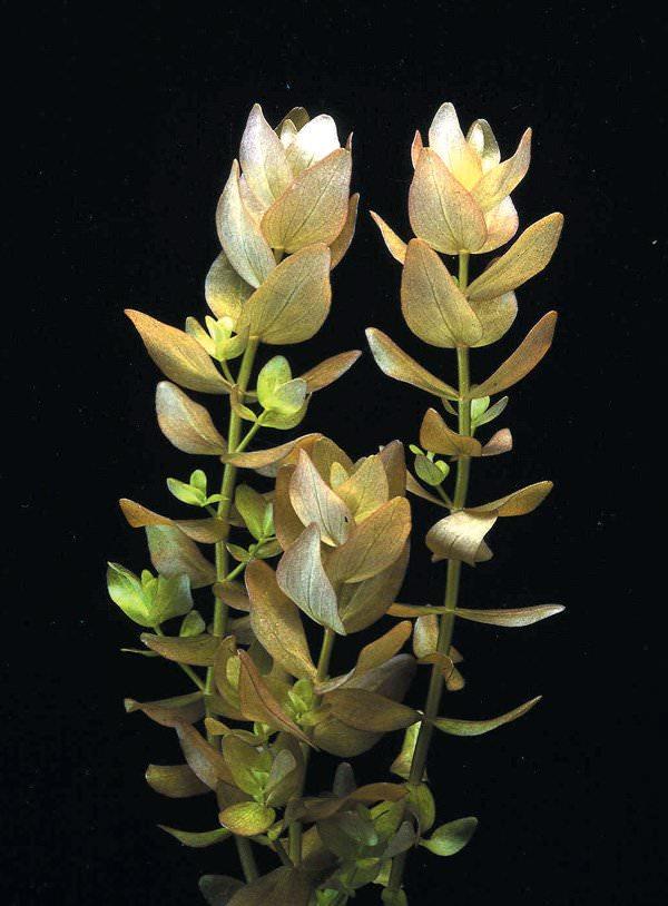 Bacopa-Amplexicaulis