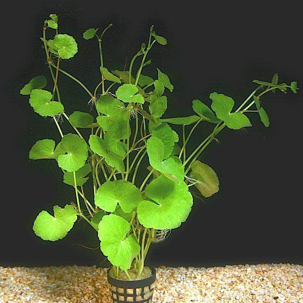 Hydrocotyle leucocephala plante d 39 aquarium en pot de for Aquariophilie en ligne