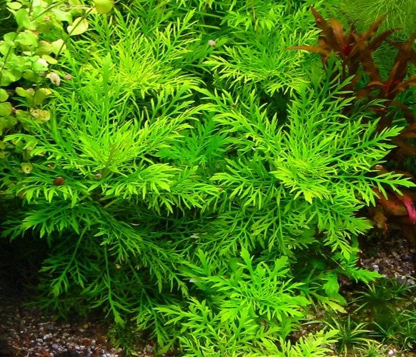 hygrophila difformis plante d 39 aquarium en pot de diam tre 5cm plantes d 39 aquarium plantes. Black Bedroom Furniture Sets. Home Design Ideas