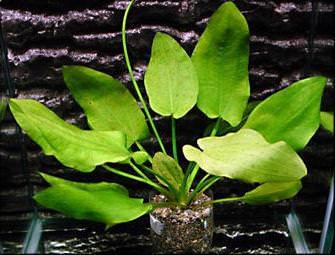 Echinodorus