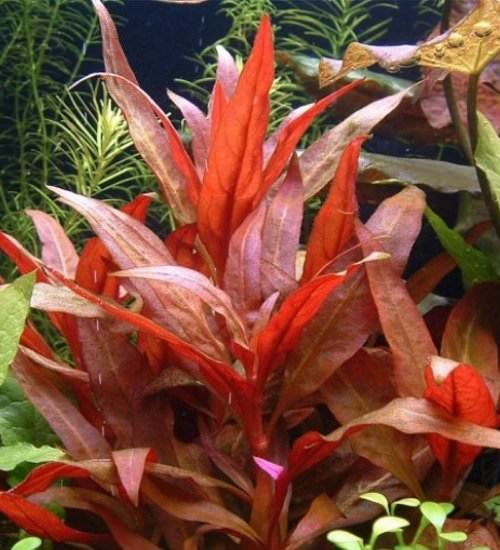 hygrophila corymbosa rouge plante d 39 aquarium en pot de diam tre 5cm plantes d 39 aquarium plantes. Black Bedroom Furniture Sets. Home Design Ideas