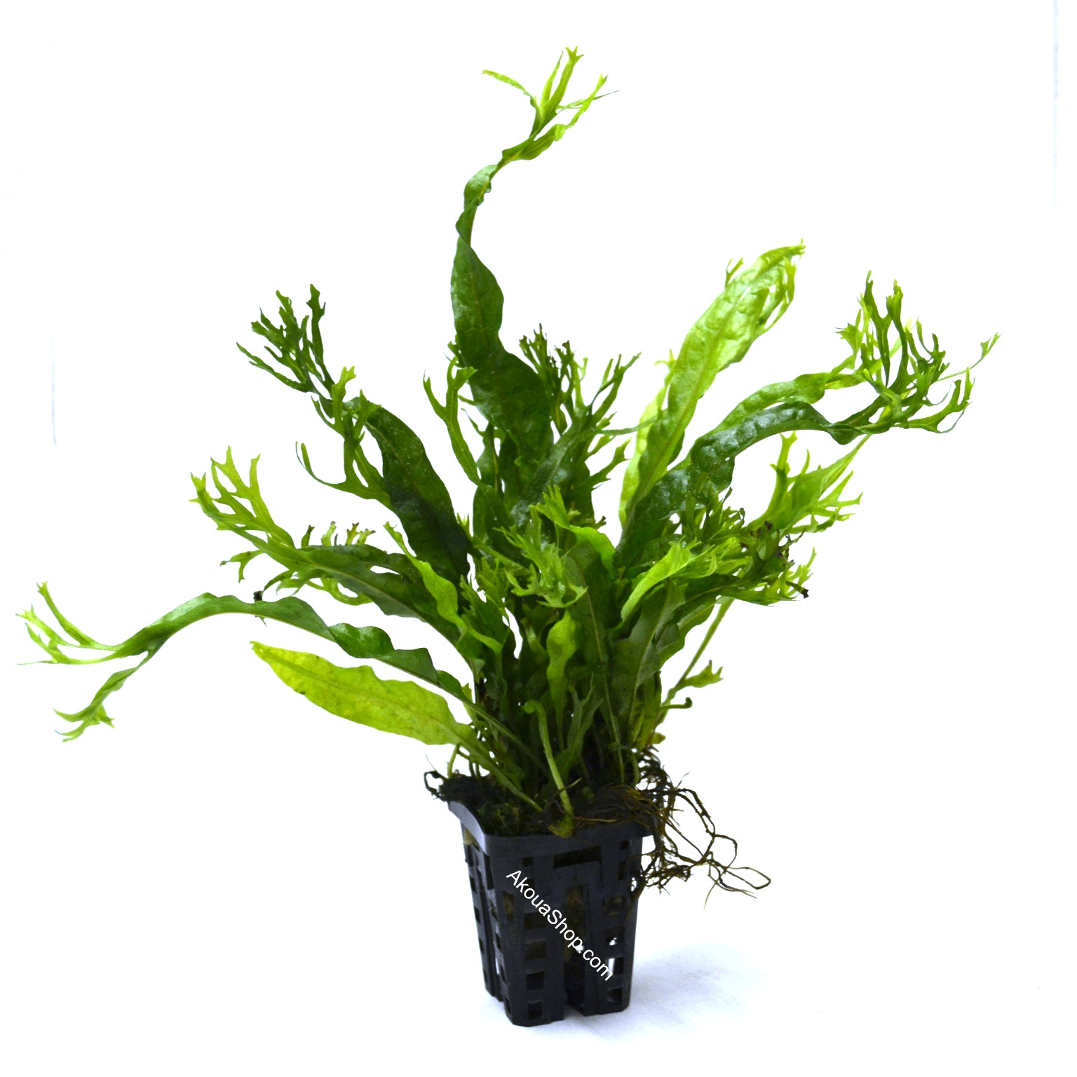 microsorum pteropus var windelov var windelov plante d 39 aquarium en pot de diam tre 5 cm. Black Bedroom Furniture Sets. Home Design Ideas