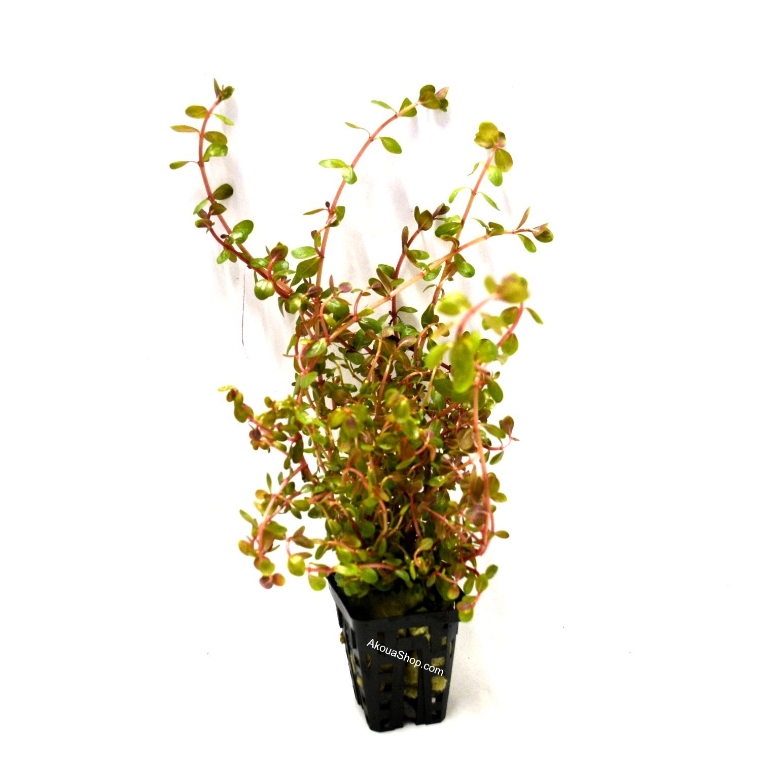 Rotala indica plante d\'aquarium en pot de diamètre 5 cm