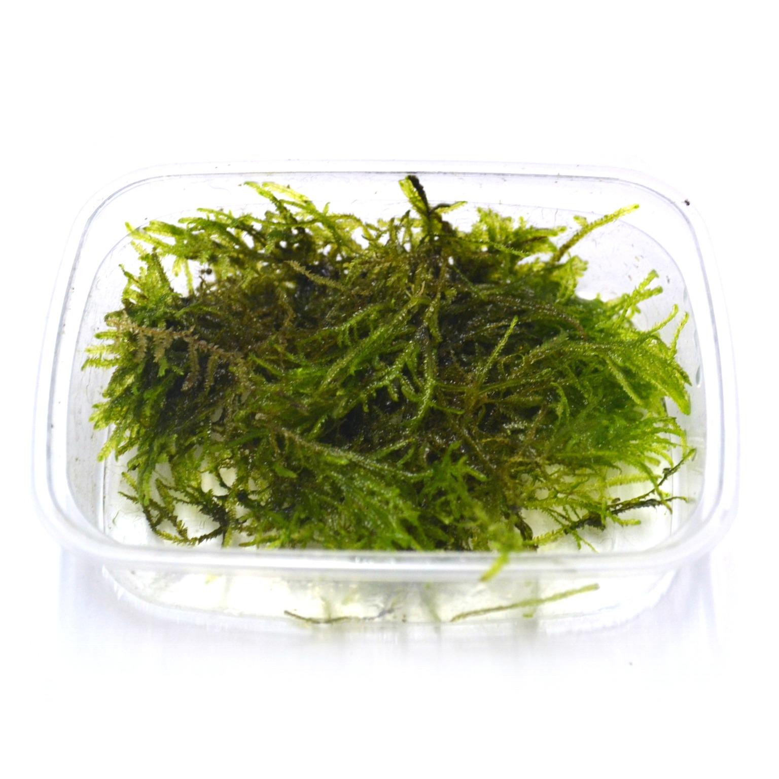 plante aquatique mousse de java