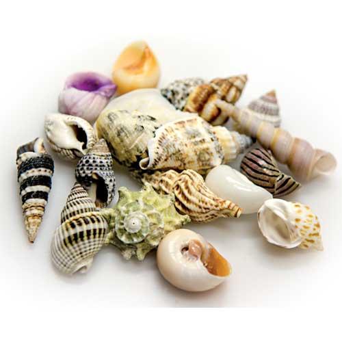 HOBBY Sea Shells Set L lot de 5 coquilles d\'éscargots pour bernard l\'hermite ou pour la décoration de l\'aquarium