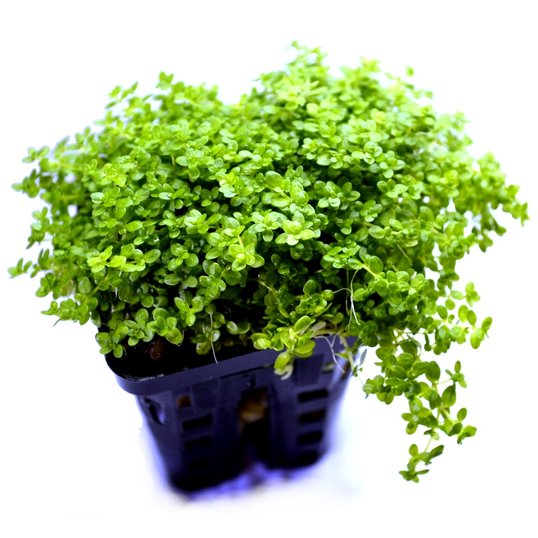 Hemianthus callitrichoides plante d 39 aquarium en pot de for Boutique aquariophilie