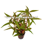Alternanthera reneckei plante d'aquarium en bouquet