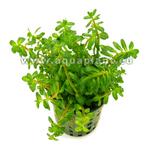 Ammania gracilis Bonsaï plante d'aquarium en pot de diamètre 5 cm