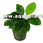 Anubias barteri var. Nana plante d'aquarium en pot de diamètre 5 cm