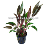 Cryptocoryne walkerii plante d'aquarium en pot de diamètre 5 cm