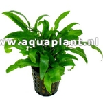 Cryptocoryne wendtii green plante d'aquarium en pot de diamètre 5 cm